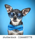 Small photo of cute chihuahua with a bow tie and sunglasses isolated on a blue background
