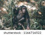 mahale mountains chimpanzee is... | Shutterstock . vector #1166716522