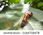 Blue Morpho Butterfly Larvae On ...