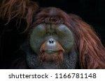 Portrait Of Orangutan...