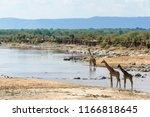 masai giraffe also spelled... | Shutterstock . vector #1166818645