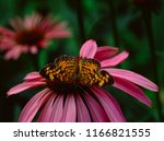 Silvery Checkerspot Butterfly ...
