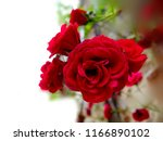 Stock photo don juan a rose categorized in a group of climbing plants has big red petals piled onto one 1166890102