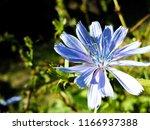 blue centaurea flower close up | Shutterstock . vector #1166937388