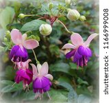 Beautiful Fuchsia Flowers Close ...