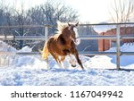 Stock photo horse galloping on winter snow horse farm scene winter snow horse gallop on winter snow horse ranch 1167049942