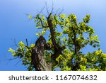 the silhouette of tree stands... | Shutterstock . vector #1167074632