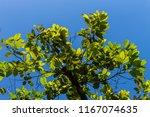 the silhouette of tree stands... | Shutterstock . vector #1167074635