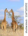 masai giraffe also spelled... | Shutterstock . vector #1167105352