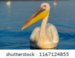Great White Pelican  Also Know...
