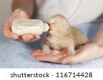 Stock photo feeding little cream newborn kitten with milk replacer 116714428