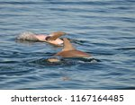 baby dolphins playing in the bay   Shutterstock . vector #1167164485
