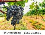 beautiful fresh blue grapes in...   Shutterstock . vector #1167223582