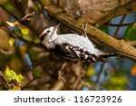 Downy Woodpecker (Picoides pubescens) hanging from a branch. Montreal, Quebec, Canada - stock photo