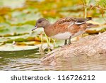 American Wigeon Female (Anas Americana) on a stone in a lake, Montreal, Quebec, Canada, North America. - stock photo