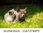 Stock photo family of cats outdoor cat with the baby kitten on grass cat hugs kitten cat plays kitten 1167276895