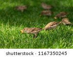 Small photo of Sparrows in nature. They eat bread. Sparrows on the background of grass. One sparrow is in focus.
