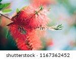 close up of a bottlebrush flower | Shutterstock . vector #1167362452