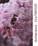 lilac beautiful flowers lilac... | Shutterstock . vector #1167385105
