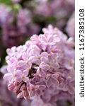 lilac beautiful flowers lilac... | Shutterstock . vector #1167385108