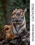 portrait of sumatran tiger   Shutterstock . vector #1167415822