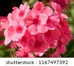 branch of pink ... | Shutterstock . vector #1167497392