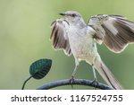 Northern Mockingbird Flexing...