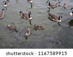 Ducks And Geese Competing For...