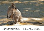 red necked wallaby or bennett's ... | Shutterstock . vector #1167622108