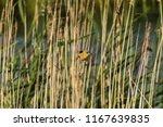 greenfinch  chloris chloris  ... | Shutterstock . vector #1167639835