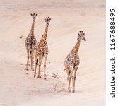 giraffe in kruger national park ... | Shutterstock . vector #1167688495