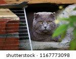 tom mail british scottish cat... | Shutterstock . vector #1167773098