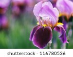 Iris On Blur Background. Small...