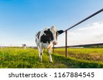 grazing black and white cow is... | Shutterstock . vector #1167884545