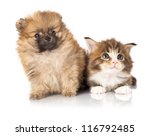 Stock photo  spitz puppy and kitten breeds maine coon cat and dog 116792485