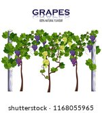 grapes vine isolated on white... | Shutterstock .eps vector #1168055965