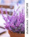 lavender flowers in the field  | Shutterstock . vector #1168067188