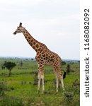 rothchilds giraffe  giraffa... | Shutterstock . vector #1168082092