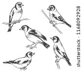 hand drawn goldfinches isolated ... | Shutterstock .eps vector #1168092928