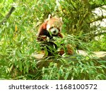 Red Panda Grabbing For Leaves...