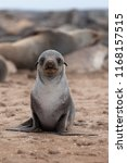 Cute baby seal portrait looking at camera, seal colony, Namibia