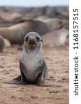Cute Baby Seal Animal Portrait...