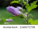 Hibiscus Syriacus Shrub In...