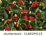 Winter Berry Holly And...