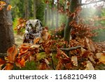 boreal owl in the orange leave... | Shutterstock . vector #1168210498