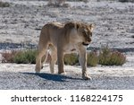 Lioness Growling And Showing...