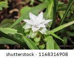 white krachai flower   Shutterstock . vector #1168316908