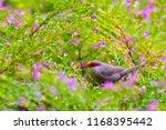 the common waxbill  estrilda... | Shutterstock . vector #1168395442
