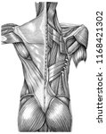 anatomy of superficial muscles... | Shutterstock . vector #1168421302