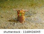 underwater worm eunice... | Shutterstock . vector #1168426045